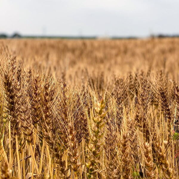 野田市の農産物・麦