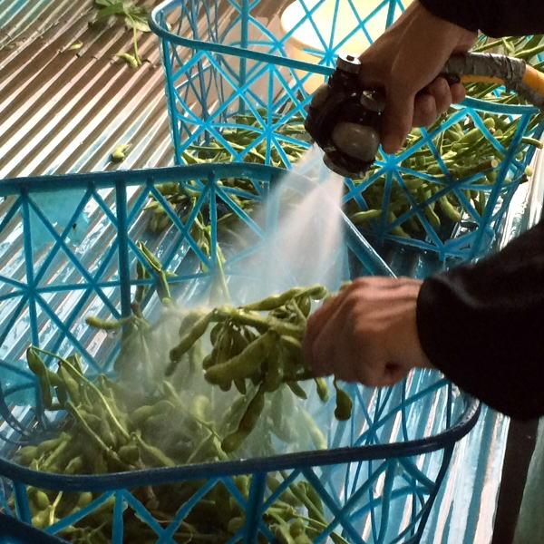 収穫した枝豆の出荷処理